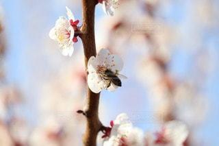 梅の花とミツバチの写真・画像素材[2991707]