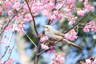 桜と野鳥の写真・画像素材[3025781]