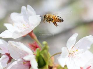 ミツバチと桜の写真・画像素材[3073879]