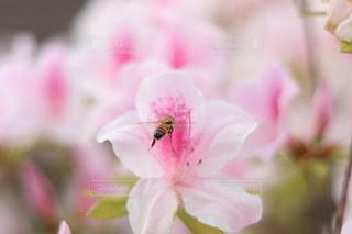 ミツバチとつつじの写真・画像素材[3187942]