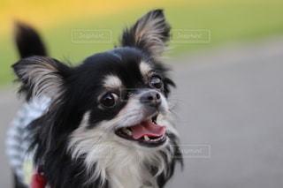 笑顔でカメラ目線のチワワの写真・画像素材[3198619]