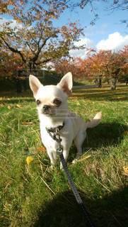 草の中に立っている小さな白い犬の写真・画像素材[2855965]