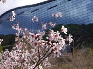 青い博物館と桜の写真・画像素材[2937939]
