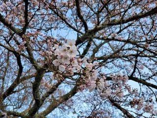 桜の写真・画像素材[3064920]