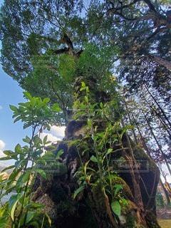 森の中の大きな木の写真・画像素材[3064921]