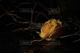 闇に咲く薔薇の写真・画像素材[2859875]