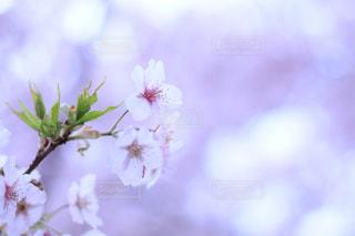 桜の写真・画像素材[2878493]