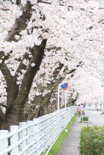 桜並木の写真・画像素材[2885564]