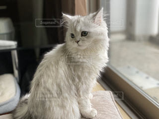 見返り美人猫の写真・画像素材[2992176]