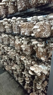 椎茸の生産の写真・画像素材[2951712]
