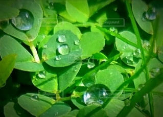 雨上がりのクローバーの写真・画像素材[3011989]