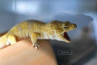 トカゲの大あくびの写真・画像素材[2862529]