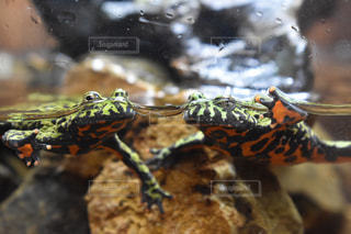 仲良く泳ぐカエルの写真・画像素材[2880688]