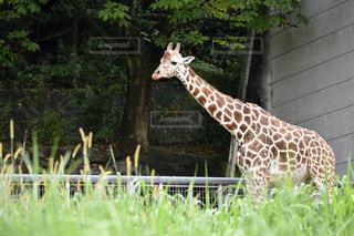 自然豊かな動物園のキリンの写真・画像素材[2881300]