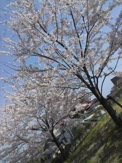 桜の写真・画像素材[2869036]