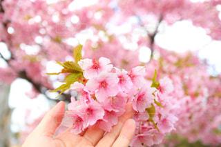 花河津桜の写真・画像素材[2862597]