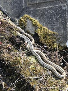 爬虫類のクローズアップの写真・画像素材[2863170]