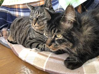 毛布の上に横たわっている猫の写真・画像素材[2867783]