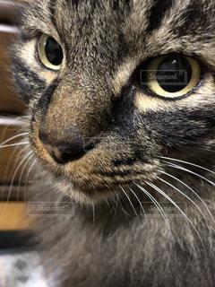 カメラを見ている猫のクローズアップの写真・画像素材[2876243]