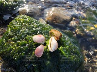 綺麗な貝殻の写真・画像素材[2881936]