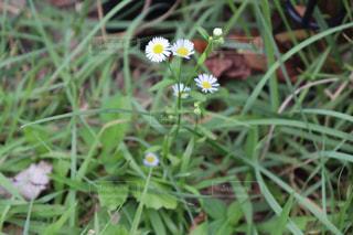 野原の黄色い花の写真・画像素材[2863306]