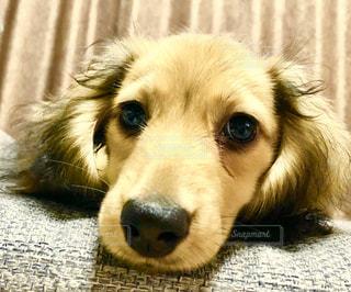 仔犬のダックスくんの写真・画像素材[2865755]
