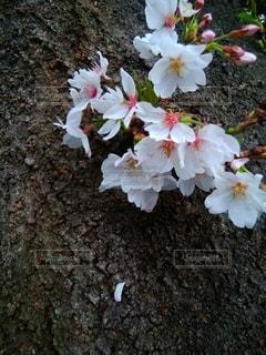 桜一房と幹の写真・画像素材[3067988]