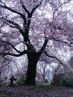 桜の木と小さな祠の写真・画像素材[3068122]