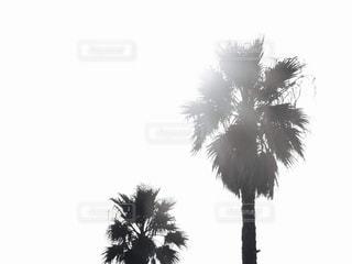 ヤシの木の写真の写真・画像素材[2956214]