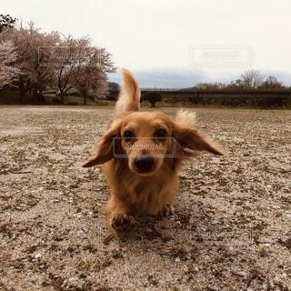 慌てて駆け寄る愛犬の写真・画像素材[2956226]