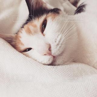 ベッドに横たわっている三毛ねこの写真・画像素材[2868658]