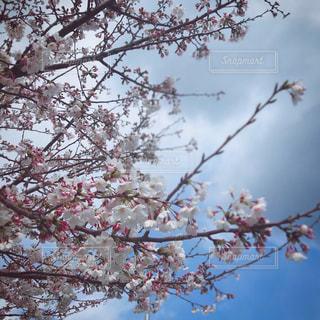 桜の写真・画像素材[2874765]