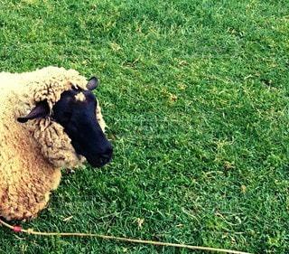 芝生に覆われた畑の上に立つ羊の群の写真・画像素材[2875217]