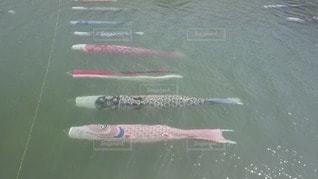 水の下で泳ぐ鯉のぼりの写真・画像素材[2884104]