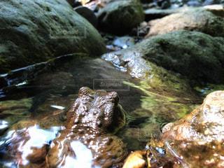 岩場で休むカエルの写真・画像素材[3052582]