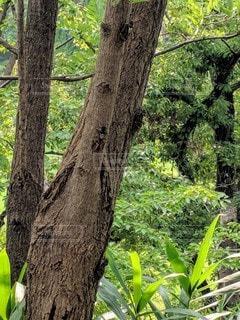 アブラゼミが沢山とまっている木の写真・画像素材[2887628]