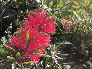 赤い花・ブラシノキの写真・画像素材[2887665]