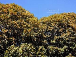 金木犀の写真・画像素材[2898351]