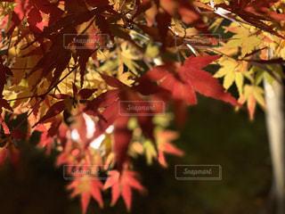 紅葉ライトアップの写真・画像素材[2890513]