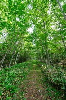 森の中のどこまでも続く道の写真・画像素材[4708316]