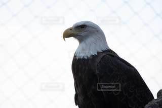 凛々しい鷹の写真・画像素材[2893680]