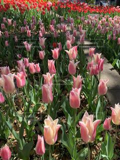 ピンクのチューリップの写真・画像素材[2894068]