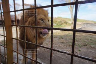 サファリパークにてライオンの餌やりの写真・画像素材[2898516]