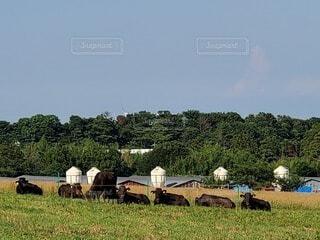 緑豊かな畑で放牧する牛の群れの写真・画像素材[4673648]