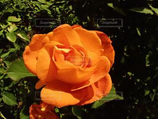 オレンジの花の写真・画像素材[2960051]