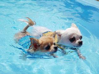 2匹で犬かきスイスイの写真・画像素材[3232399]