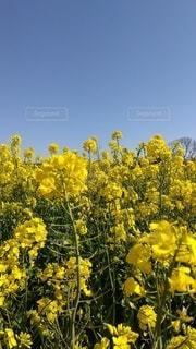 黄色い花で満開です。の写真・画像素材[3061636]