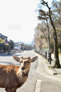 奈良公園の鹿の写真・画像素材[2972110]
