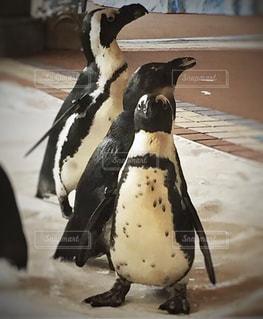 こっちを見るペンギンの写真・画像素材[2936592]