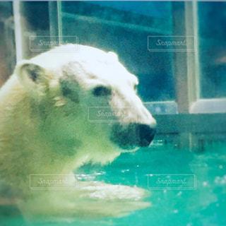 プールで泳ぐホッキョクグマの写真・画像素材[2936634]